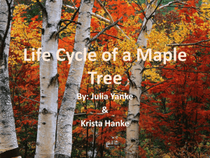 Life cycle of a Maple Tree
