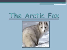 Arctic Fox PowerPoint