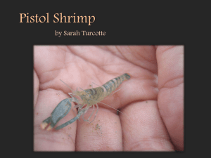 Pistol Shrimp