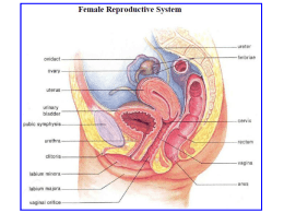The Female Reproductive System (PowerPoint)
