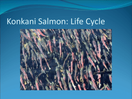 Kokanee Salmon: life cycle