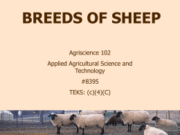 Sheep Breeds of Medium