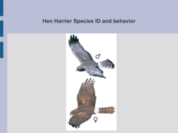 Hen Harrier ID Powerpoint