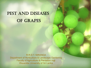 grapes presenation