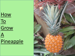 How to grow pineapple