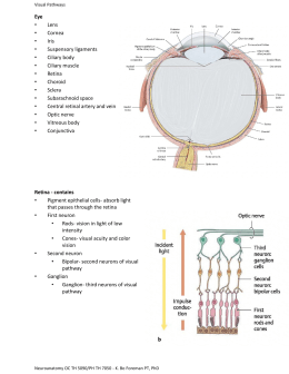 Exercise 23 special senses anatomy of the visual system