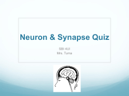 Neuron & Synapse Quiz