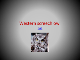 Western screech owl - Lincoln Orchard Mesa