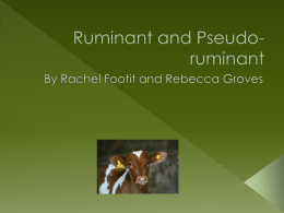 Ruminant and Pseudo - 10thLargeAnimalScienceLymanHall