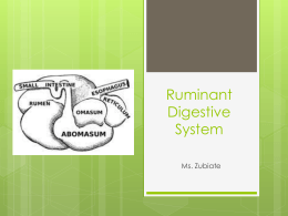 Ruminant Digestive System