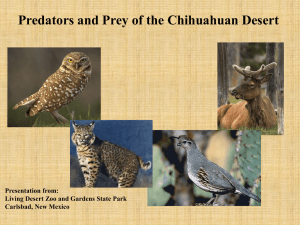 Predator and Prey of the Chihuahuan Desert