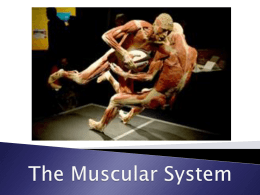 musculoskeletal response to acute exercise increased blood supply