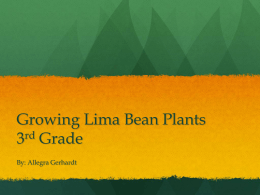 Growing Lima Bean Plants 3rd Grade