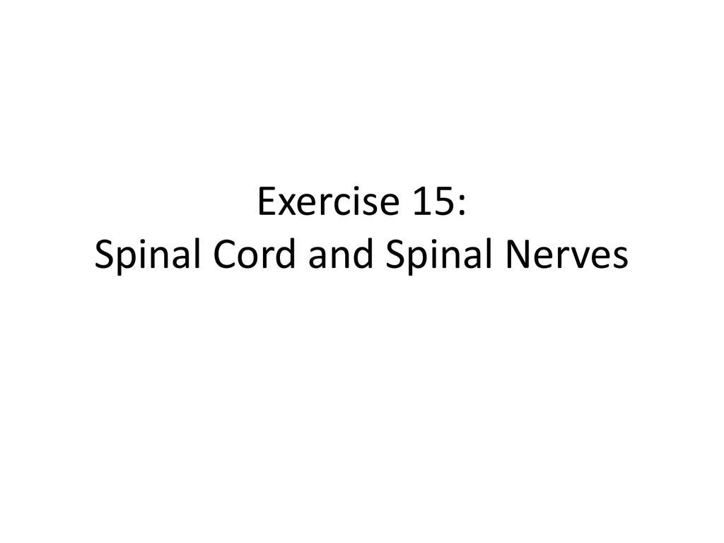 Exercise 15: Spinal Cord and Spinal Nerves