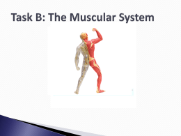 Muscular System - Turnfordbtecnational