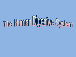 PowerPoint Presentation - The Human Digestive