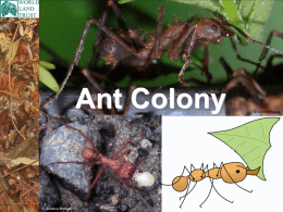 Leaf-cutter Ant Colony