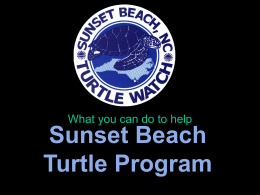 HERE - the Sunset Beach Sea Turtle Watch