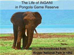 You can spare the life of Ngani an elephant bull at Pongola Game
