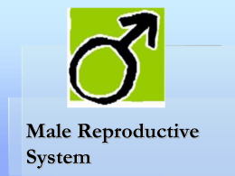 Male Reproduction Powerpoint Presentation