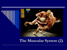 The Muscular System (2)
