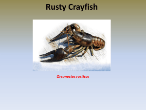 Thorpe_Rusty Crayfish