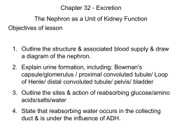 Blood Supply to the Nephron