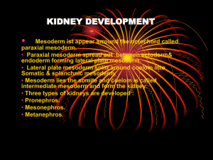 KIDNEY DEVELOPMENT