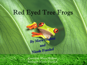 Red Eyed Tree Frogs PowerPoint