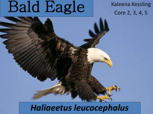 Bald Eagle - Platte County R