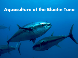 bluefin tuna powerpoint final