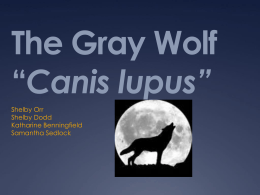 The Gray Wolf Canis lupus