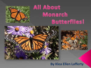Monarch Butterfly Klea