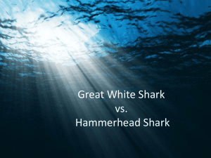 Great White Shark vs. Hammerhead Shark