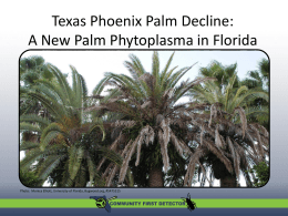 New palm phytoplasma in Florida: - university of florida entomology