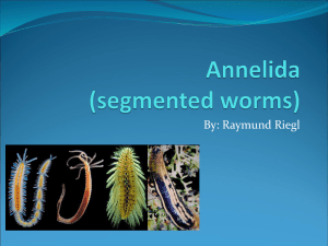 Annelida (segmented worms)