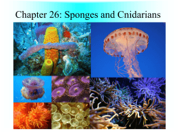 Sponges and Cnidarians Notes PowerPoint