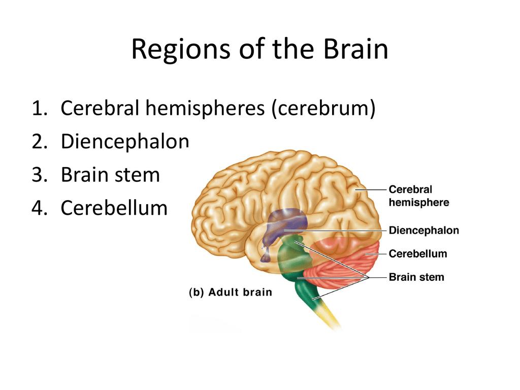 Regions of the Brain: Cerebrum