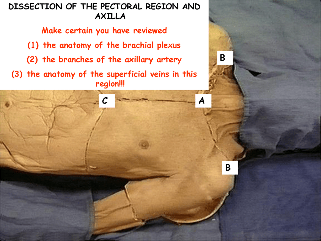Pectoral region and axilla