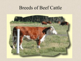Breeds of Cattle