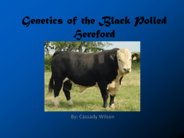 Genetics of the Black Polled Hereford