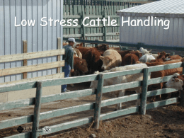 Low Stress Cattle Handling - The Agricultural Health and Safety