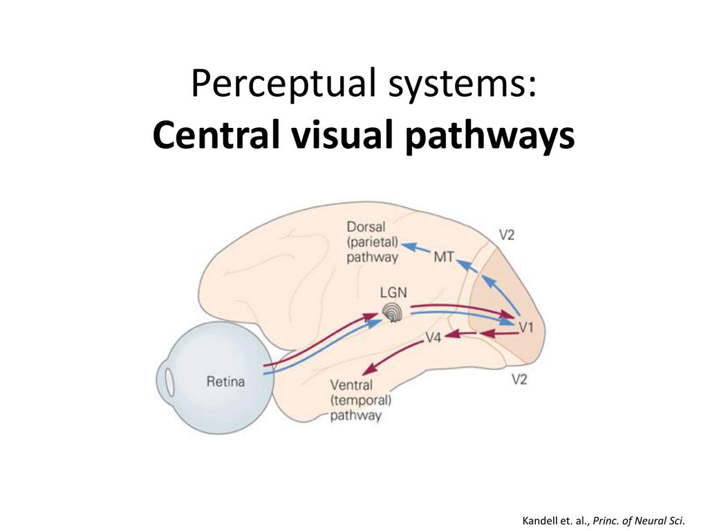 Visual pathway class..