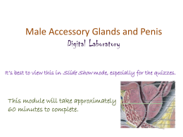 Male Accessory Glands