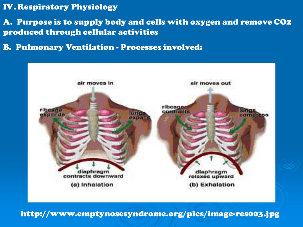 Respiratory Physiology Inhalation And Exhalation Diagram Of Breathing Activity