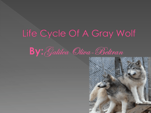 Life Cycle Of A Gray Wolf