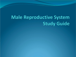 Male Reproductive System Study Guide