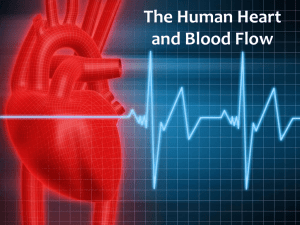 The Human Heart and Blood Flow Presentation