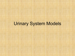 Urinary System Models