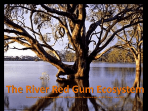 The River Red Gum Ecosystem Powerpoint.